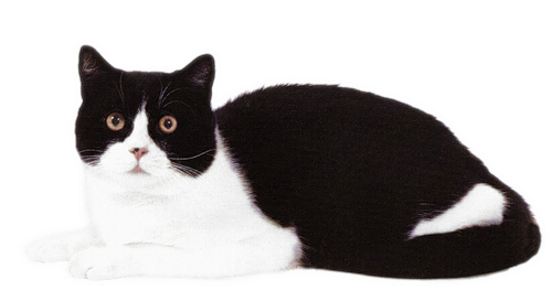 черно-белый кот кошка клипарт