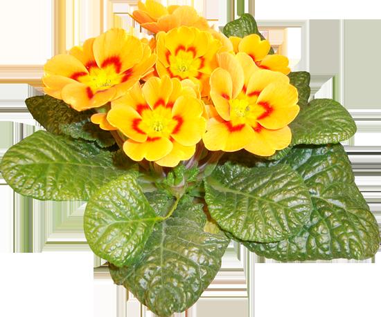 цветы клипарт